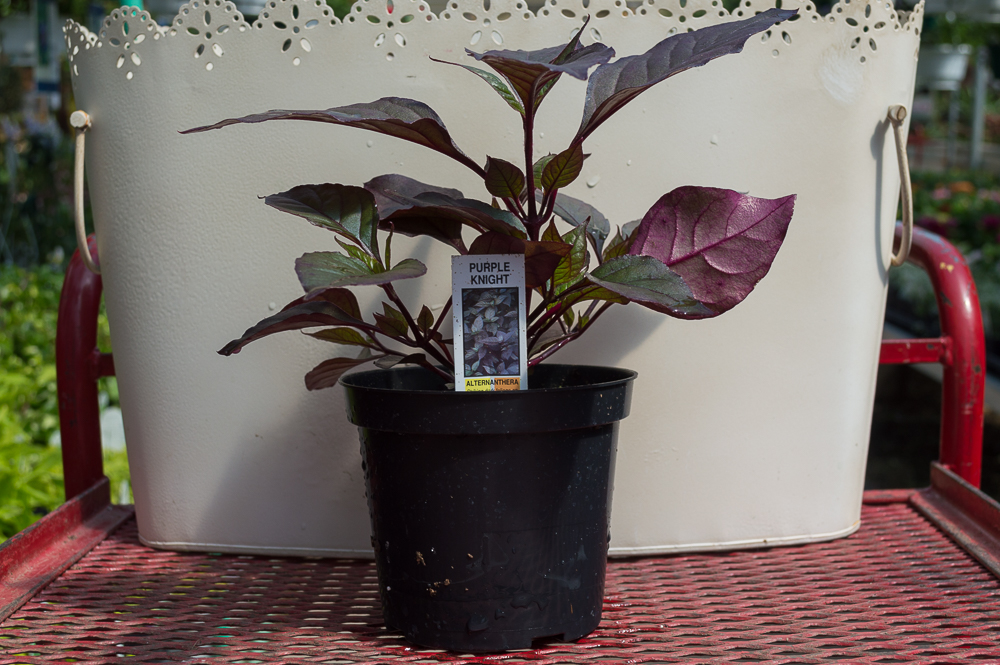 Alternanthera – Purple Knight